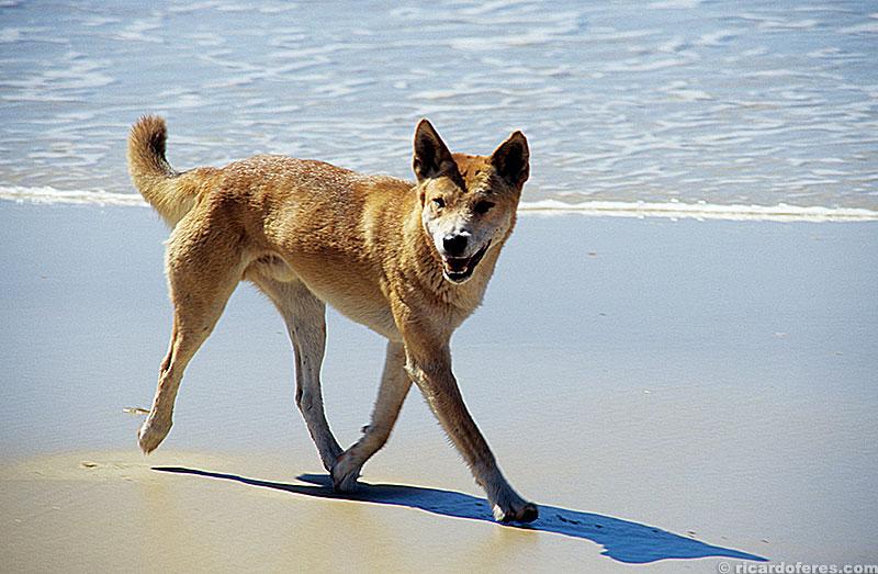 Dingo, o cão selvagem australiano.