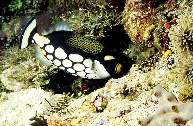 Peixe cangulo palhaço no recife Flinders