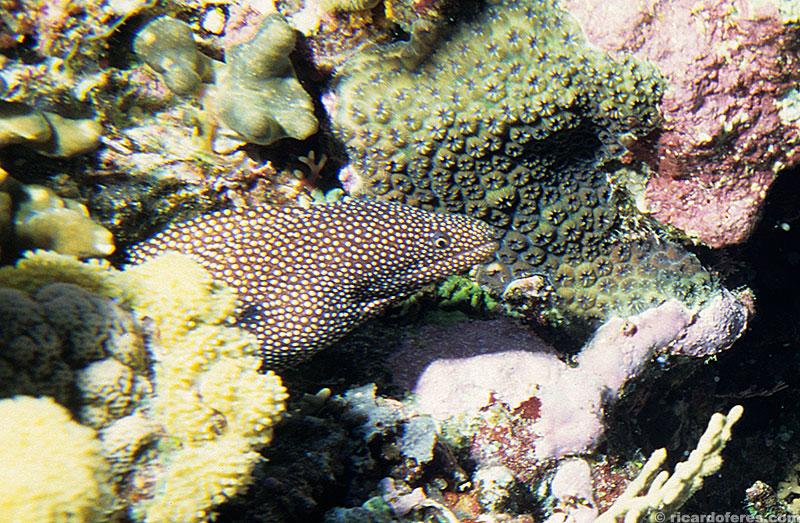 Moréia nadando entre os corais do recife Flinders