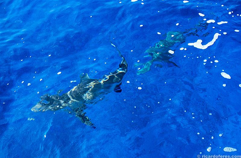 Tubarões se aproximam da embarcação por sentirem cheiro de sangue na água