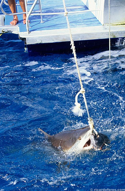 Mordendo uma cabeça de atum que está amarrada ao barco