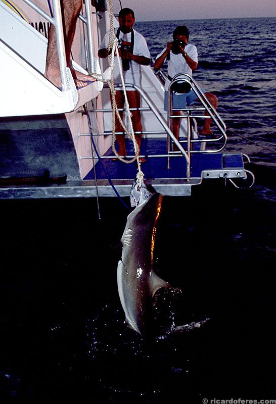 Após o mergulho, quase de noite, ainda restava um tubarão brigando pela cabeça de atum