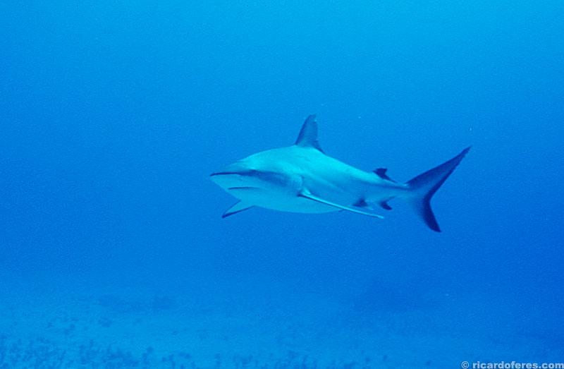 Durante o mergulho os tubarões passam em volta...
