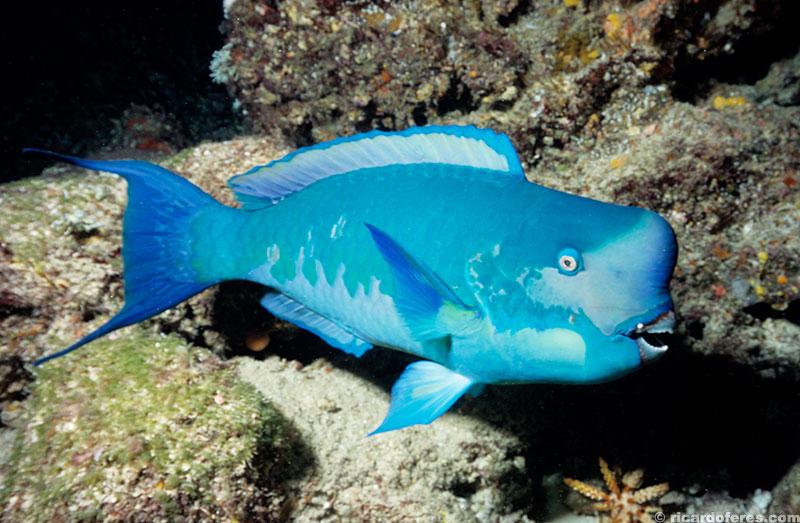 Peixe papagaio em mergulho noturno no recife Flinders