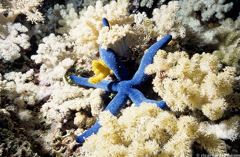 Estrela-do-mar no recife Myrmidon.