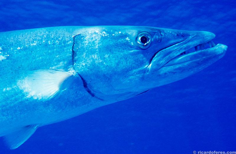 Este é Elvis, uma barracuda enorme que habita o recife Wheeler.