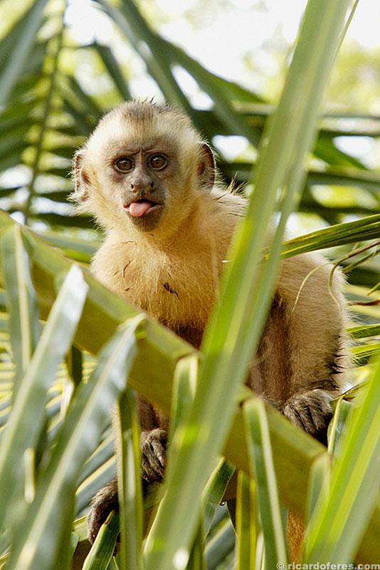 Macaco-prego no povoado de Vassouras