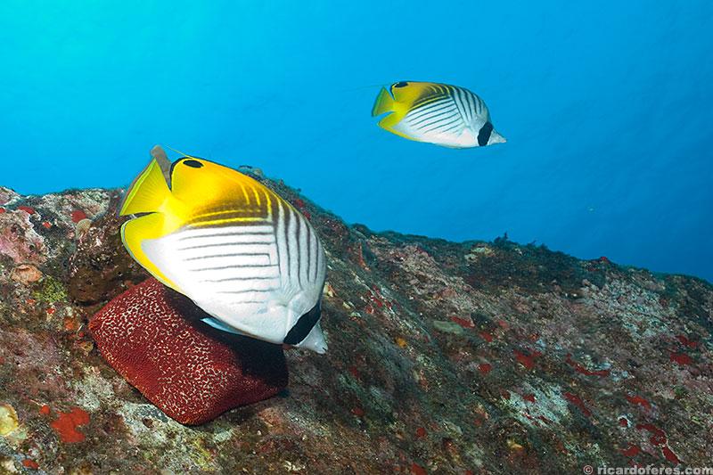 Peixe-borboleta