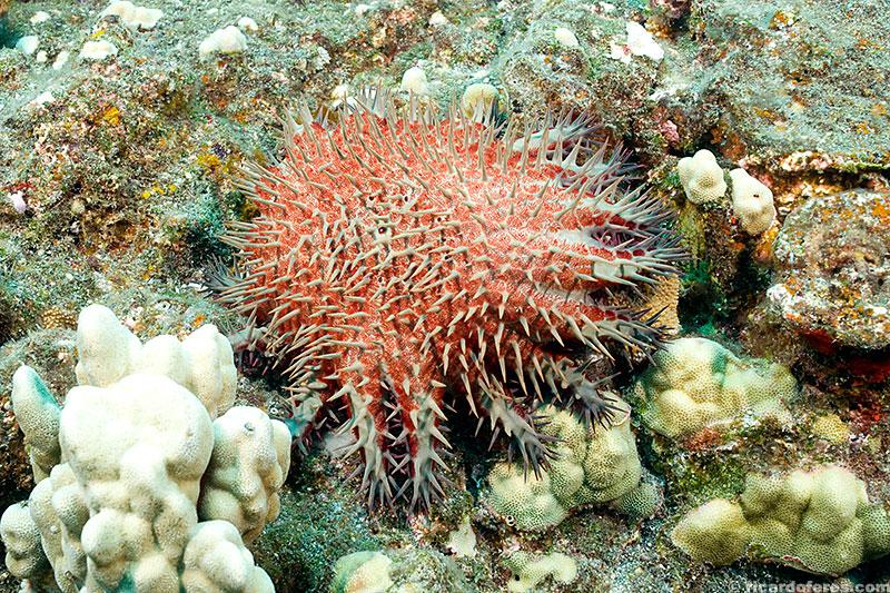 Coroa-de-espinhos comendo corais