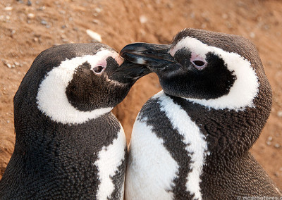 Magdalena island penguin colony, Chile