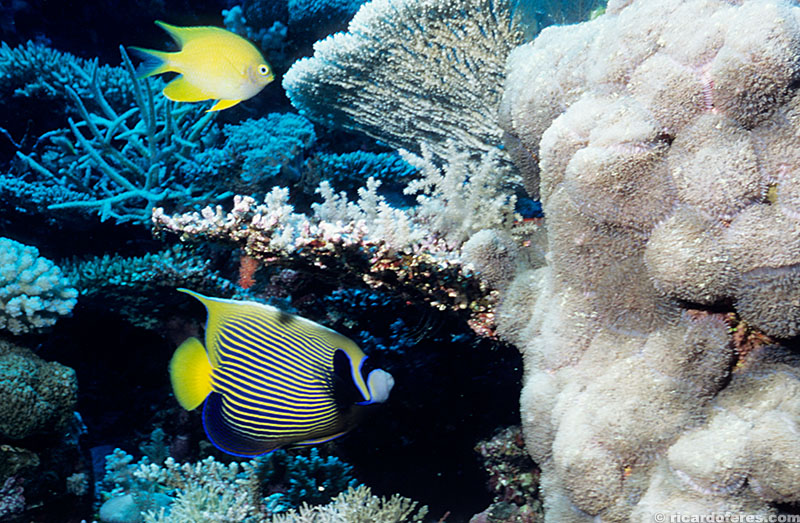 Peixe anjo imperador, recife Myrmidon, Austrália