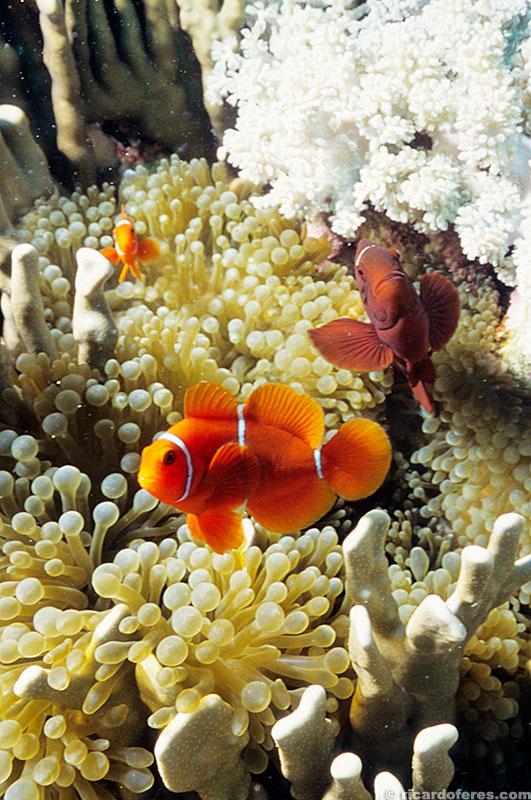 Peixe palhaço, recife Wheeler, Austrália