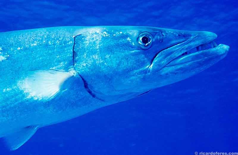 Barracuda, Coral Sea, Austrália