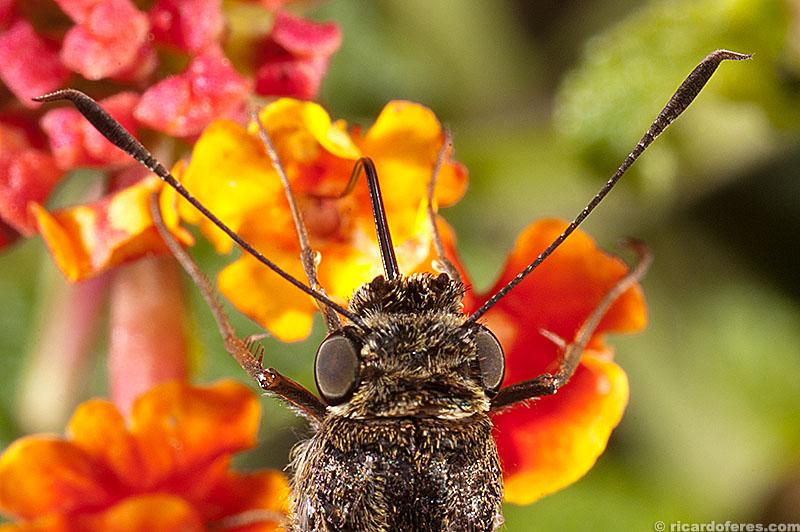 Borboleta colhendo néctar. Bragança Paulista, SP