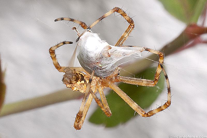 Aranha enrolando sua presa, Bragança Paulista, SP