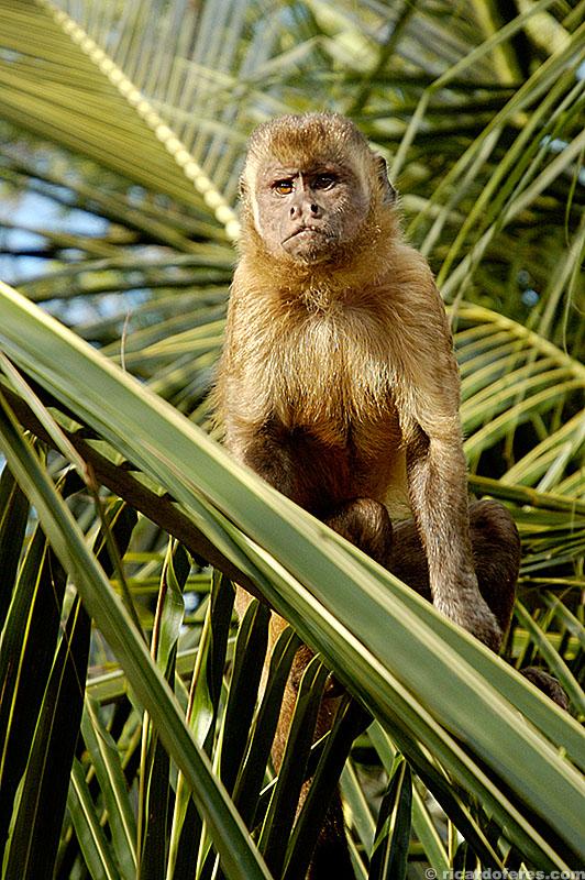 Macaco-prego nos Lençóis Maranhenses