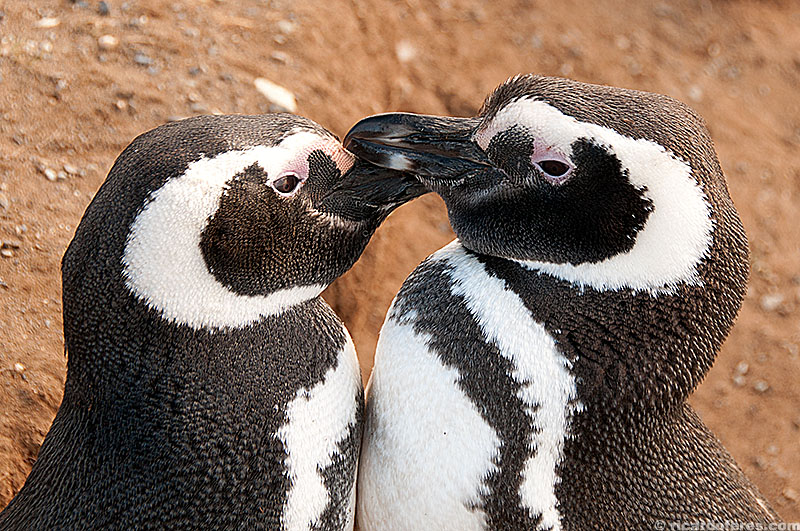Pinguim-de-Magalhães, ilha Magdalena, Chile