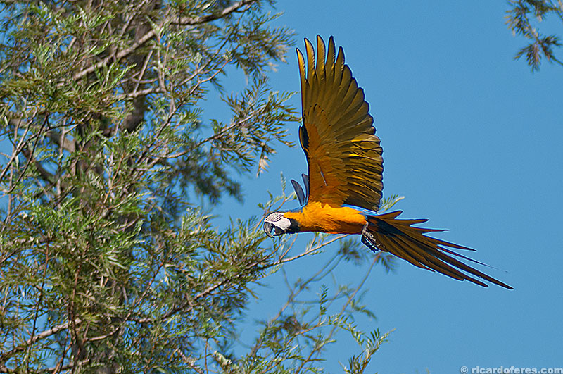 Arara-canindé no Pantanal do Mato Grosso do Sul