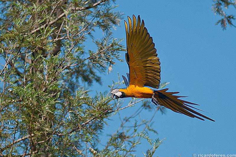 Arara-canindé no Pantanal do Mato Grosso do Sul