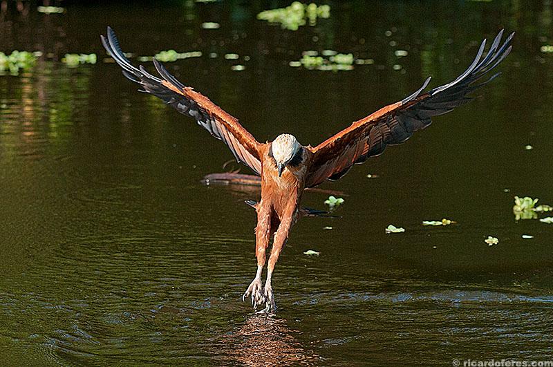Gavião-belo no Pantanal do Mato Grosso do Sul