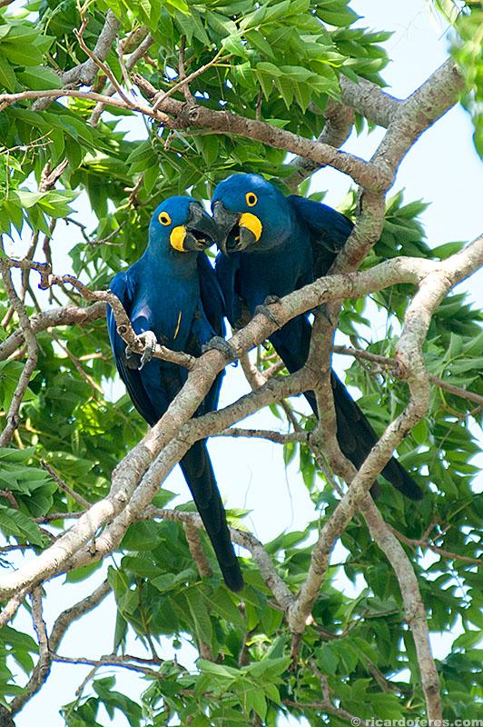 Arara-azul no Pantanal do Mato Grosso do Sul