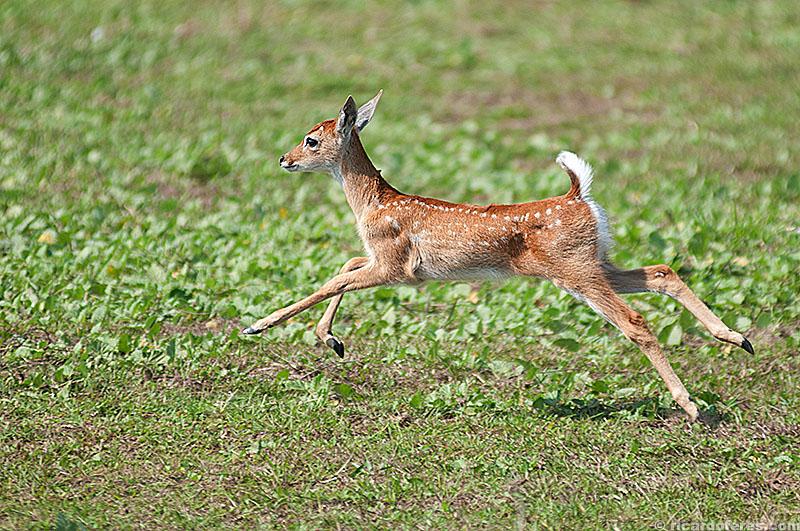 Filhote de cervo-do-pantanal no Pantanal do Mato Grosso do Sul