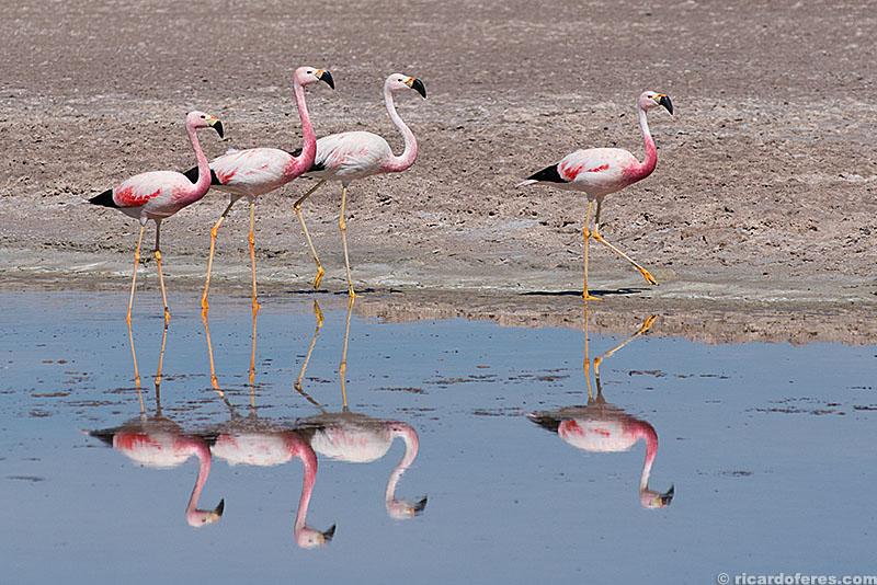 Flamingos no deserto do Atacama, Chile