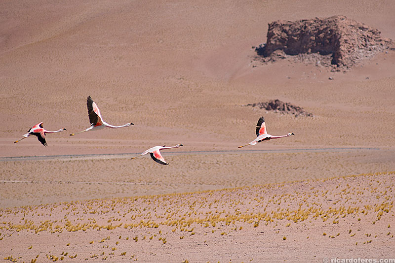 Flamingos no deserto do Atacama, Chile