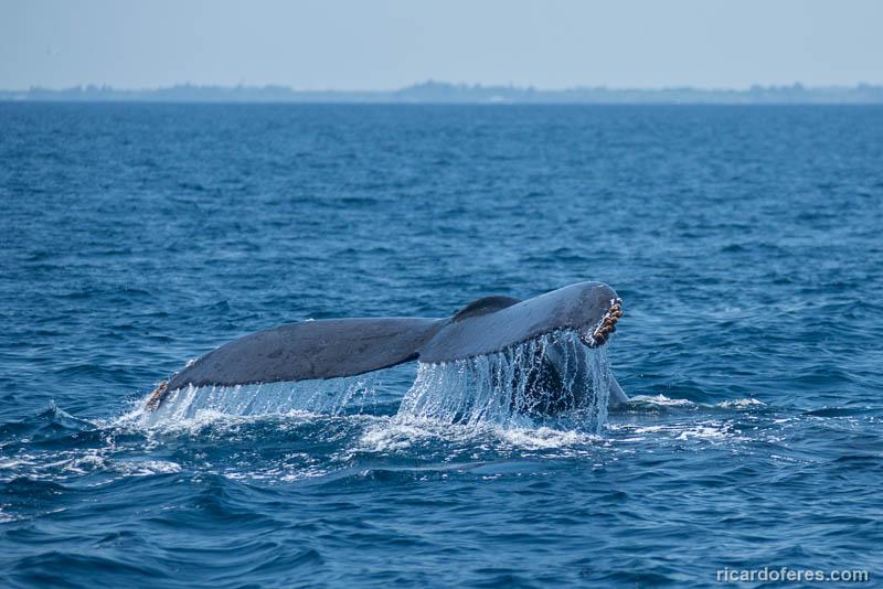2016-03-29-0991-humpback-whale