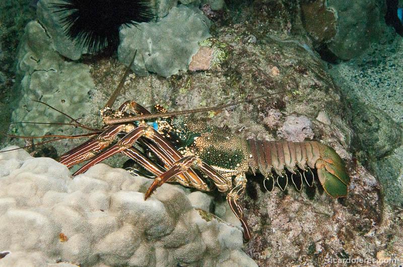 Os mergulhos noturnos também podem render belos encontros, como com essa enorme lagosta