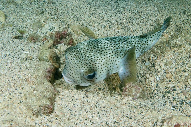 2016-04-28-1881-baiacu-em-mergulho-noturno-em-waiolena