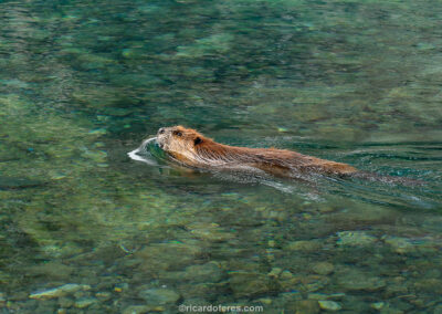 Beaver at Dientes de Navarino Circuit, Chile. Photo with 12 cm x 8 cm (5 in x 3 in).