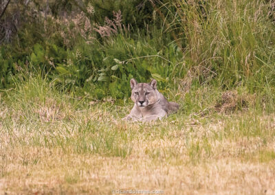 Puma spotted at Patagonia National Park, Chile. Photo with 12 cm x 12 cm (4,7 in x 4,7 in), along with three other pictures of the puma with the same size.