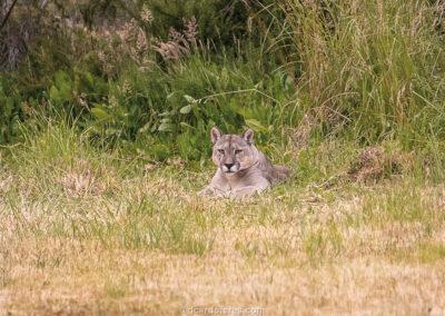 Puma avistado no Parque Nacional Patagonia, Chile. Foto com 12 cm x 12 cm, junto a outras três fotos do puma com mesmo tamanho.
