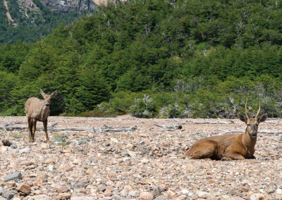 Huemules (Patagonian deer) at Valle de los Glaciares, Patagonia National Park, Chile. Photo with 42 cm x 28 cm (16 in x 11 in).
